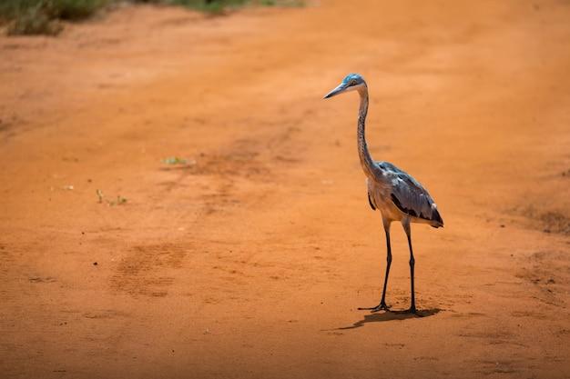 Żuraw stojący na czerwonej ziemi na sawannie