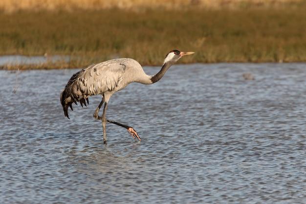 Żuraw zwyczajny na mokradłach w środkowej hiszpanii wcześnie rano, ptaki, grus grus