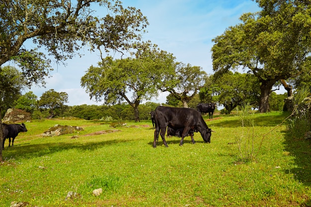 Zwalczanie wypasu byków w estremadura dehesa