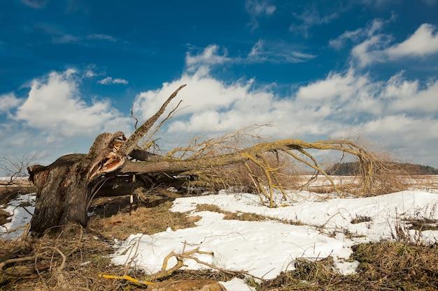 Zwalone drzewo po huraganie na tle błękitnego nieba. złamane drzewo spadło na ziemię na polu lub w parku od silnego wiatru.