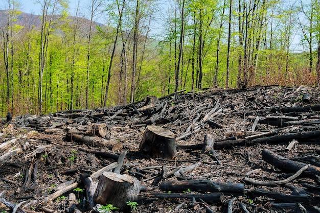 Zwęglone drzewa po pożarze lasu. klęski żywiołowe.
