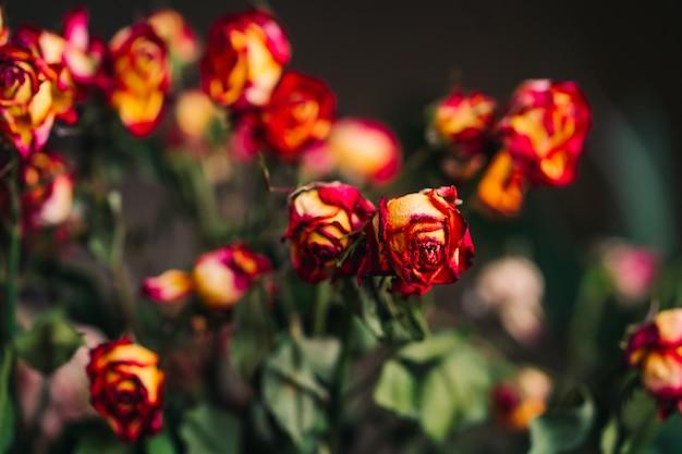 Zwiędłe czerwone i żółte róże i płatki na czarno