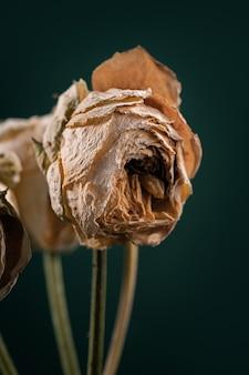 Zwiędłe i suche białe róże o pięknym świetle. koncepcje piękna. kreatywny plakat, ciemne tło