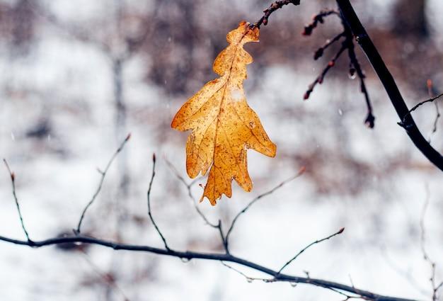Zwiędły liść dębu na drzewie w lesie zimą