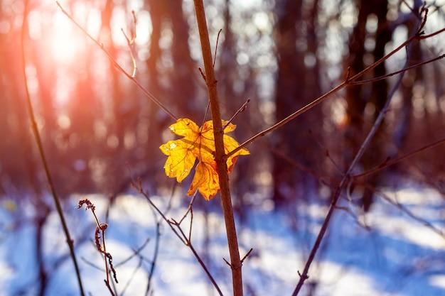 Zwiędły liść klonu w zimowym lesie na drzewie podczas zachodu słońca