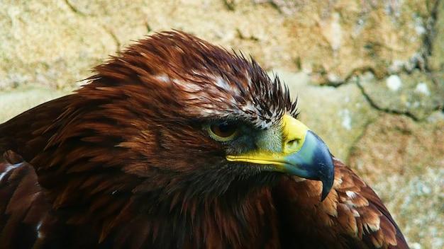 Zwierzę drapieżne ptak orzeł