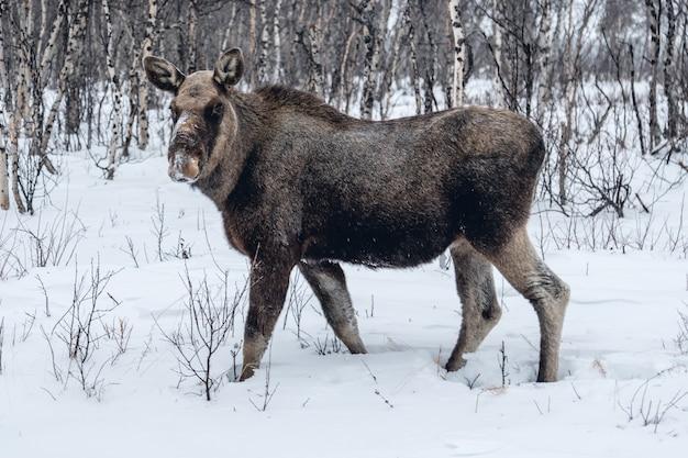 Zwierzę hodowlane spacerujące po zaśnieżonej wsi w północnej szwecji