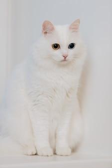 Zwierzę o różnych kolorach. kot o dziwnych oczach z niebieskimi i migdałowymi oczami. heterochromia. kot turecki angora siedzi