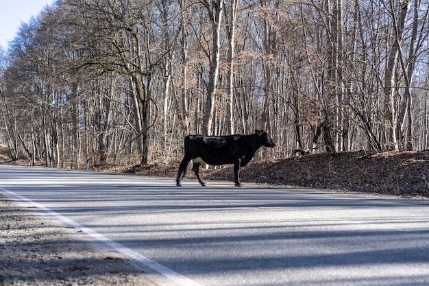 Zwierzę przecina drogę. krowa stoi na środku drogi.