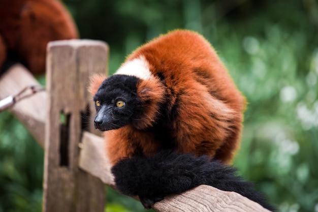 Zwierzę red ruffed lemur bliska widok