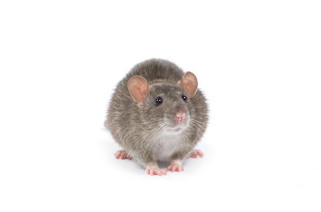 Zwierzę szczur
