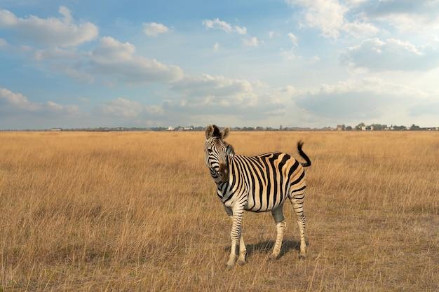 Zwierzę zebra w stepie, ukraina