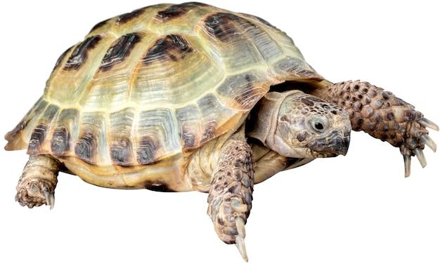 Zwierzę żółwia na białym tle
