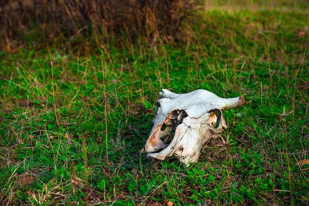 Zwierzęca Czaszka Na Zielonej Trawie Premium Zdjęcia