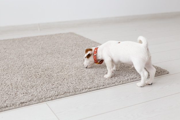 Zwierzęta domowe, zwierzęta i koncepcja domowa - mały szczeniak jack russell terrier bawi się na dywanie w salonie.