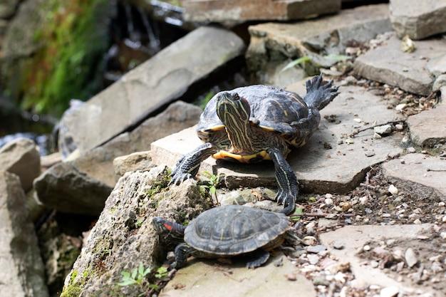 Zwierzęta, dzika przyroda. żółw leży na skałach