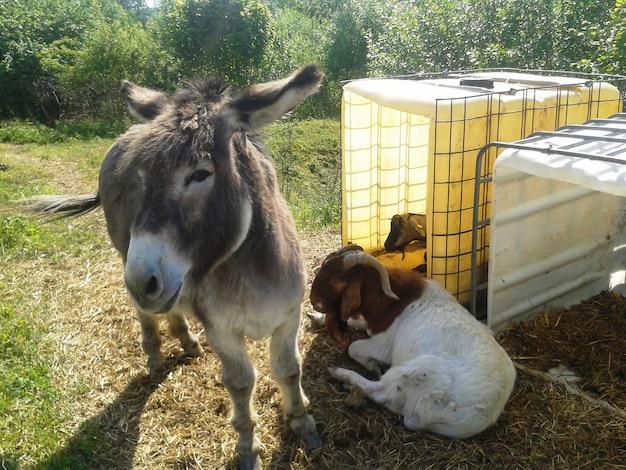 Zwierzęta gospodarskie: osioł i dwie kozy pasą się latem na świeżym powietrzu w pobliżu zagrody