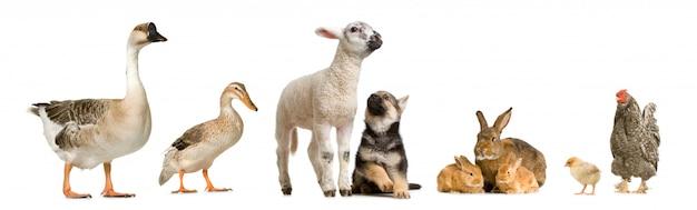 Zwierzęta gospodarskie przed białym tłem