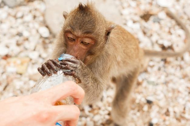 Zwierzęta i dzika przyroda. małpa pije z plastikowej butelki