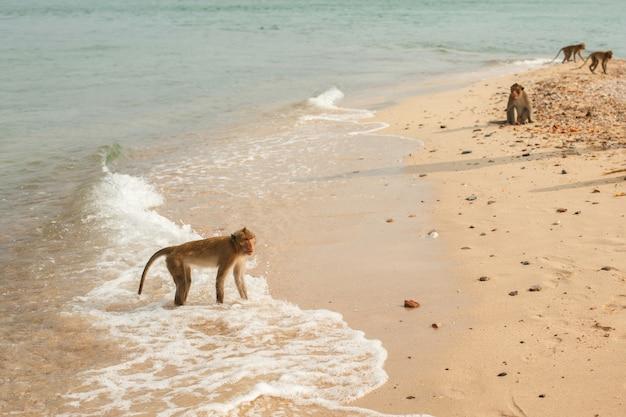 Zwierzęta i dzika przyroda. stado małp lub makaków na piaszczystym brzegu morza. małpa stoi na falach oceanu.