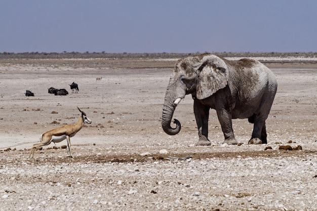 Zwierzęta w parku narodowym etosha - namibia