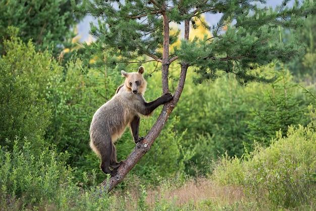 Zwinna samica niedźwiedzia brunatnego z jasnym futerkiem wspinająca się na drzewo w letniej naturze