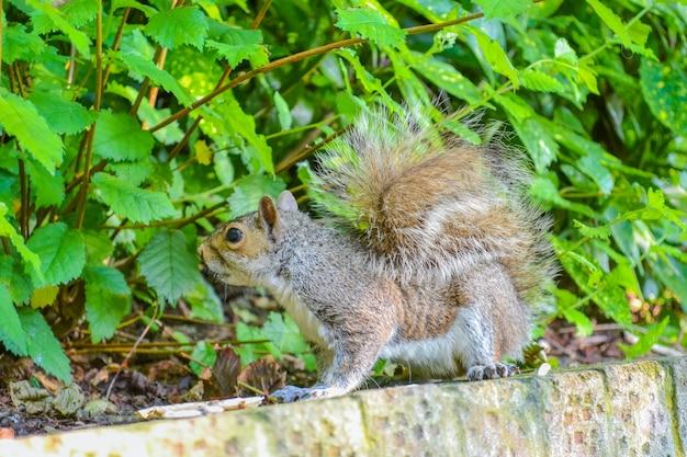 Zwinna szara wiewiórka mieszkanka parków i lasów w anglii