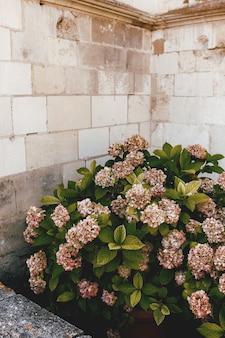 Zwiotczała różowa hortensja w pobliżu kamiennej ściany starego zamku.