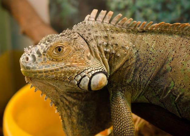 Zwykła iguana w terrarium wygląda prosto w oczy
