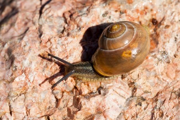 Zwykły dziki ślimak czołgający się po skałach i oświetlony światłem słonecznym, słoneczna pogoda latem lub wiosną oraz jeden ślimak winogronowy pełzający po jego terytorium