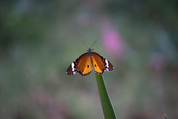 Zwykły motyl tygrysi danaus chrysippus pijący nektar z roślin kwiatowych na wiosnę
