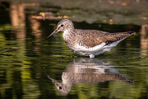Zwykły ptak brodziec szukający pożywienia na bagnach