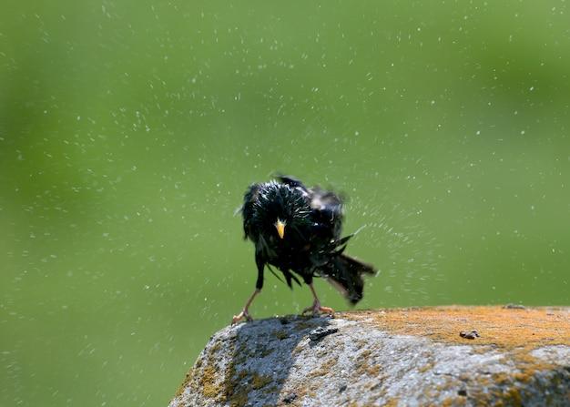 Zwykły szpak siedzi na kamieniu i otrząsa się po kąpieli w wodzie.