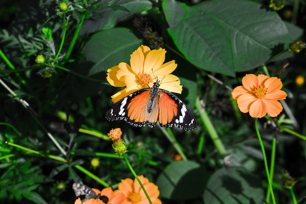 Zwykły tygrys danaus chrysippus motyl pijący nektar z roślin kwiatowych