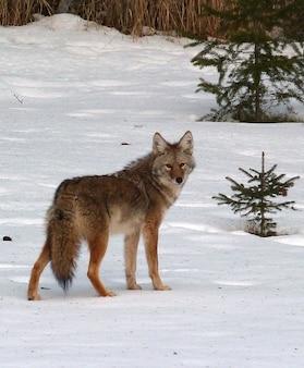 Życie psów coyote canis latrans dzikie zwierzę
