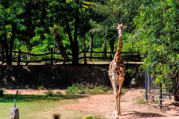 Żyrafa chodząca po ziemi