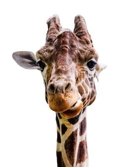 Żyrafa izoluje