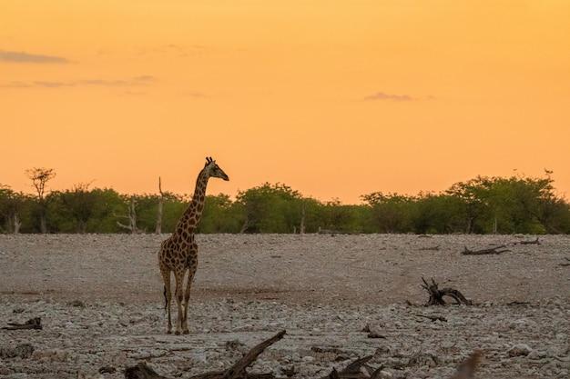 Żyrafa je malutką zieloną akację opuszcza w okaukuejo, etosha park narodowy, namibia