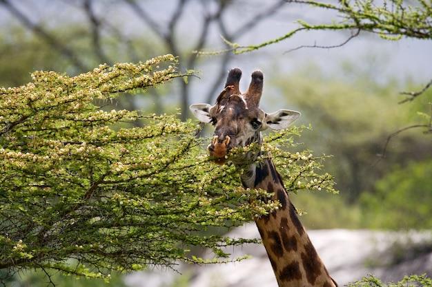 Żyrafa je sawannę akacjową.