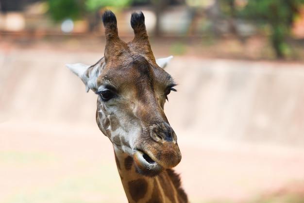 Żyrafa jedzenia liści - zamknij się żyrafa z przodu i śmieszne na charakter zielone drzewo w parku narodowym