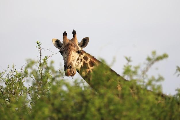 Żyrafa masajska w parku narodowym tsavo east, kenia, afryka