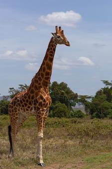 Żyrafa na safari w kenii, afryka, przyroda, zwierzę, safari, dziki, ssak
