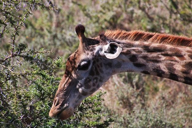 Żyrafa na safari w kenii i tanzanii w afryce