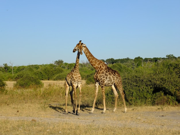 Żyrafa na safari w parku narodowym chobe, botswana, afryka