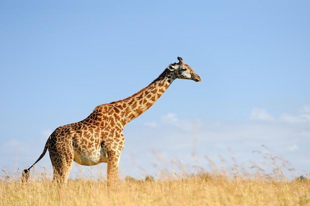 Żyrafa na sawannie w afryce