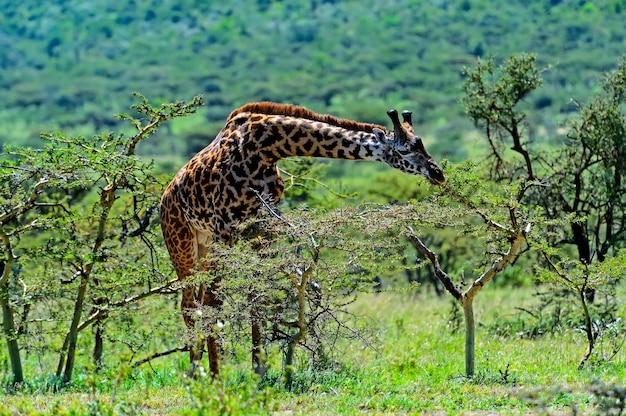 Żyrafa na sawannie w ich naturalnym środowisku