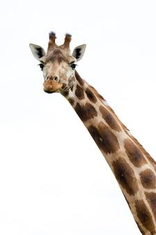 Żyrafa portret dzikiego zoo. bliska strzał.