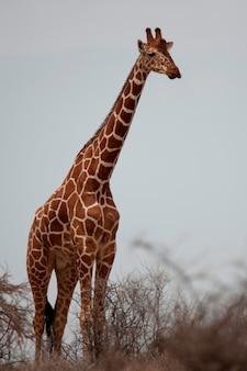 Żyrafa przyrody w kenii