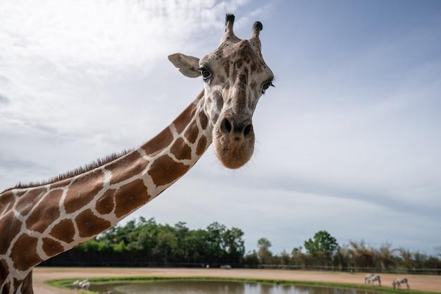 Żyrafa przywitaj się! poza oknem autobusu w zoo safari.