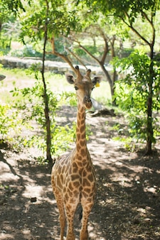 Żyrafa republika południowej afryki